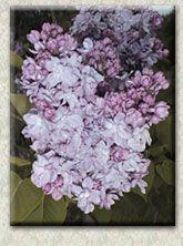 Syringa vulgaris 'Leon Gambetta'  - Lemoine, France, 1907; sky  blue blooms; double and very showy; compact mounded shape