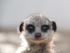Meerkat, Modgaji Conservation - South Africa