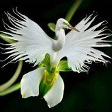 Egrow 200pcs Egret Flores Japonesas Sementes Egret Branco Orquídea Sementes Radiata Rare Orquídea Branca