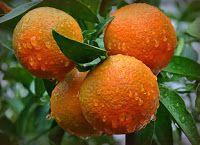 Άρωμα Ικαρίας: Φλούδες εσπεριδοειδών: Πώς να αφαιρέσετε τα φυτοφά...