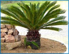 Jenis-Jenis Palem Primitif di Kebun Raya Bogor. Tujuh dari 10 genus palem primitif terdapat di Kebun Raya Bogor. Semuanya berpotensi sebagai tanaman hias eksklusif, baik untuk ornamen taman maupun tanaman hias dalam pot.