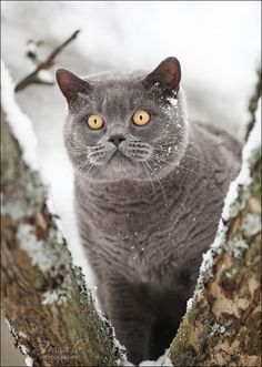 British shorthair cat by http://tessochka.livejournal.com/376405.html