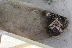 Ein Seelöwe zeigt seine Zähne Animals, Viajes, Animais, Animales, Animaux, Animal