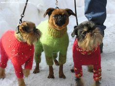 Brussels Griffon, 2, red, Griffons from kennel Imgosbull (Russia)