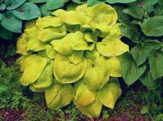 Northern Grown Perennials - Hostas and Daylilies Hosta Gardens, Plants, Planting Flowers, Hostas, Foliage Plants, Trees To Plant, Perennials, Flower Garden, Shade Plants