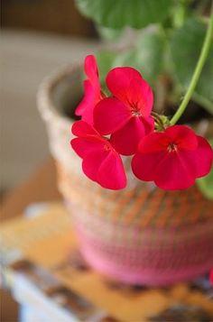 d7061879618 27 Best Geraniums Geranios images