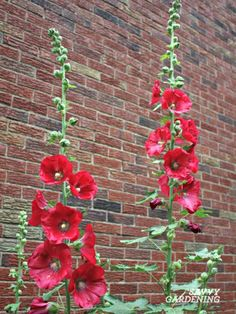 Hollyhocks are beaut