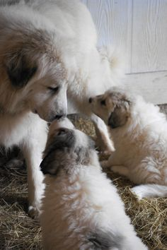 Great Pyrenees Puppies and Mama at Boondockers Farm Pyrenees Puppies, Great Pyrenees Puppy, Baby Puppies, Dogs And Puppies, Doggies, Big Dogs, I Love Dogs, Terra Nova, Secret Life Of Pets