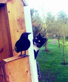 A nosy neighbor who is highly suspicous of the new fake raven decoration: