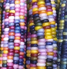 Cherokee rare corn farmer Carl Barnes spent years isolating Native American corn varieties to save a lost heritage, ultimately preserving his glass gem corn American Corn, Native American, Rainbow Corn, Colored Corn, Glass Gem Corn, Popcorn Seeds, Bright Colors Art, Unicorn Foods, The Bad Seed