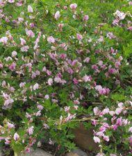 Cytisus purpureus - punavihma