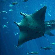 Did you know: Rays make up five out of seven of most threatened families of cartilaginous fishes (sharks, rays & chimaeras). Click the link in the bio to learn more about the Global Partnership for Sharks and Rays dedicated to stopping the overexploitation of these species. Photo credit: Justin Henry, 2010