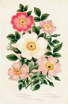 1872 Antique FLOWER print chromolithograph by TwoCatsAntiquePrints, $18.00