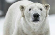 My mastiff of choice is The Polar Bear.