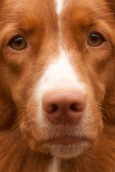 Nova Scotia Duck Tolling Retriever [Toller]