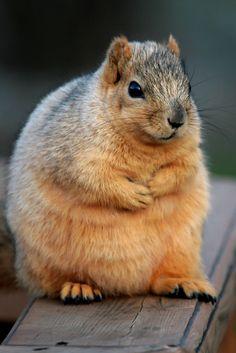 Chubby Squirrel. AAAAAAAAAAAAAAAAAAAAAAAAAAAAAAAAAAAAAAAAAAAAAAAAAAAAAAAAAAAAAAAAAAAAAAAAAAAAAAAAAAAAAW!!!!