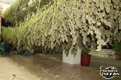Just another day in Paradise <3 #paradiseseeds #cannabis #marijuana #marihuana #420
