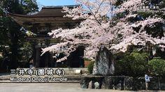 春・桜が満開の三井寺の境内:Precincts of the Mii-dera (Otsu City, Shiga)