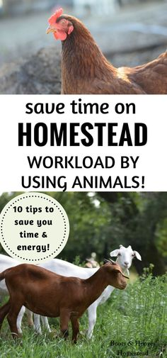 Are you looking for ways to simplify your homestead processes? Check out a few ways for how to put your homestead animals to work to help save some precious time & energy. #homestead #homesteading #chickens #goats #cows