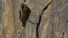 Il Falco Pellegrino