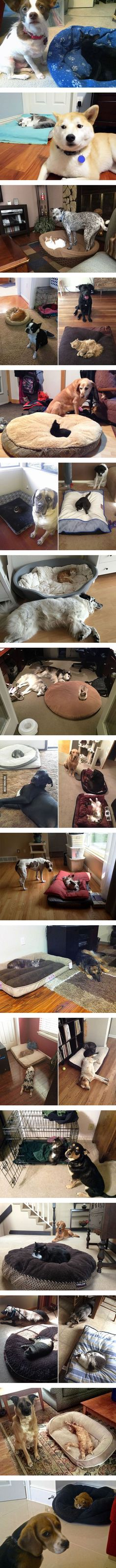 Dog beds stolen by cats #Imgur