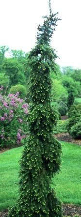 weeping siberian spruce  30' tall 8' wide