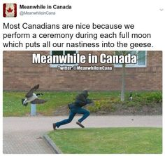 Most Canadians are nice because we perform a ceremony during each full moon which puts all our nastiness into the geese ! Image Credit: Meanwhile in Canada Canadian Facts, Canadian Memes, Canadian Things, I Am Canadian, Canadian Humour, Canada Jokes, Canada Funny, Canada Eh, Stereotypes Funny