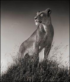 Nick Brandt |  United Kingdom | #lioness