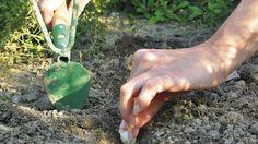 Ako sa pri pestovaní cesnaku vyhnúť chorobám a škodcom