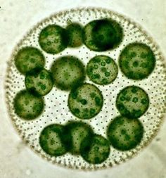 Volvox : This algae is considered to be a colony. The individual cells are the green circles. You can also see smaller spheres within which are the chloroplasts.