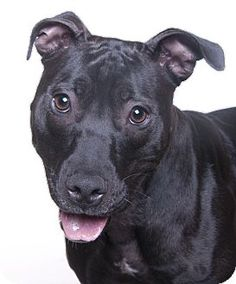 Chicago, IL - American Pit Bull Terrier. Meet Squeak, a dog for adoption. http://www.adoptapet.com/pet/15302973-chicago-illinois-american-pit-bull-terrier