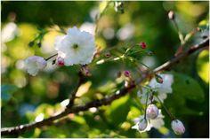 Cherry blossoms by Annie Japaud on White Cherries, Long Awaited, Spring Blossom, Cherry Blossoms, Annie, Flora, Garden, Plants, Garten
