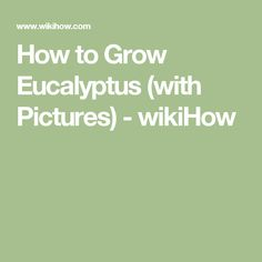 How to Grow Eucalyptus (with Pictures) - wikiHow