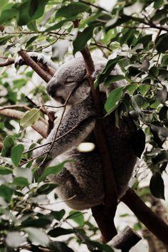 #KOALA #SLEEP SHH