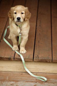 jacy-Golden Retriever Puppy