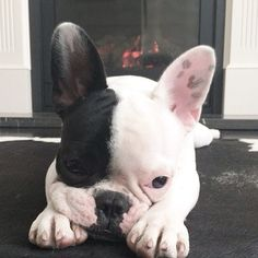 French Bulldog Puppy, what a beauty