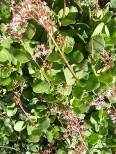 Crassula multicava Garden, Flowers, Plants, Garten, Lawn And Garden, Gardens, Plant, Gardening, Royal Icing Flowers