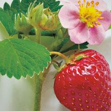Wild Strawberry, the juicy scent of plump berries on a warm, sunny day.  www.partylite.biz/cndlluvrs