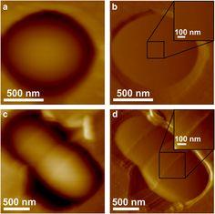 AFM images of WT L. lactis cells.