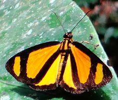 So Pretty Butterfly Cabirus procas (a spreadwing skipper), Napo, Ecuador