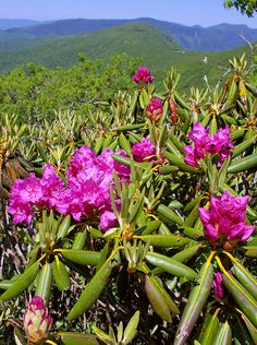 Catawba Rhododendron blooms at Craggy Gardens on the Blue Ridge Parkway in North Carolina - peak bloom in mid June