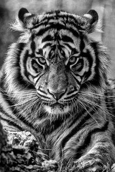 ♂ Wildlife photography Black & white Tiger King...so beautiful! @Chris Cote Lancaster this reminded me of u!