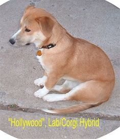 Corgi/ Yellow Lab