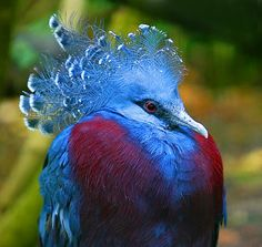 Victoria Crowned Pigeon by Janine Russell: Goura victoria is a large, bluish-grey pigeon with elegant blue lace-like crests, maroon breast and red iris. It is part of a genus of three unique very large, ground-dwelling pigeons native to the New Guinea region and is easily recognized by the unique white tips on its crests and by its deep 'whooping' call. Its name commemorates Queen Victoria. http://en.wikipedia.org/wiki/Victoria_crowned_pigeon #Bird #Crowned_Pigeon
