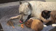 Amazing interspecies FRiENDS: Cat, rabbit, guinea pig and dog pit bull SHARKY. HelensPets.com