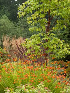 WHAT IS THE ORANGE FLOWER IN FOR GROUND??Sunset Shades - traditional - Landscape - Seattle - Le jardinet