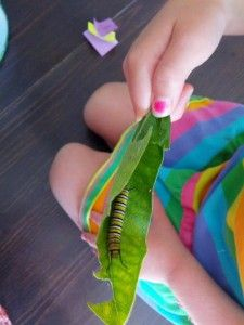 Raising a Monarch Caterpillar