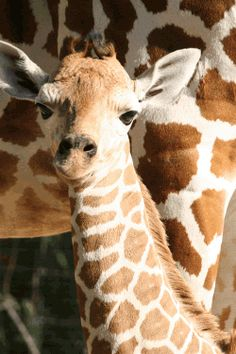 Giraffes are such elegant and beautiful animals. The giraffe is the tallest of all animals
