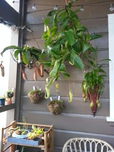 March 2015 New nepenthes, unknown variety with small, nearly all green trumpet-shaped upper pitchers