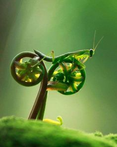 The Bike Riding Praying Mantis. Macro photographer Eco Suparman was left astounded when the praying mantis he was photographing jumped onto a nearby curled plant and looked to be peddling off into the sunset. Images Gif, Perfectly Timed Photos, Praying Mantis, Tier Fotos, Pictures Of The Week, Oui Oui, Amazing Nature, Belle Photo, Science Nature